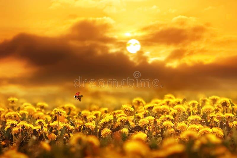 Marienkäfer im Flug über Feld des gelben Löwenzahns bei Sonnenuntergang Konzeptfrühlingssommer lizenzfreie stockfotografie