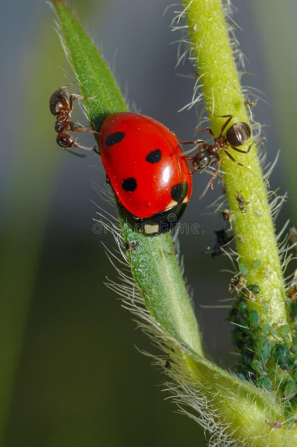 Marienkäfer mit Ameisen stockfotos