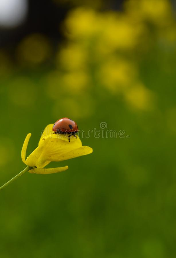 Marienkäfer sitzt auf Senfblume stockfotos