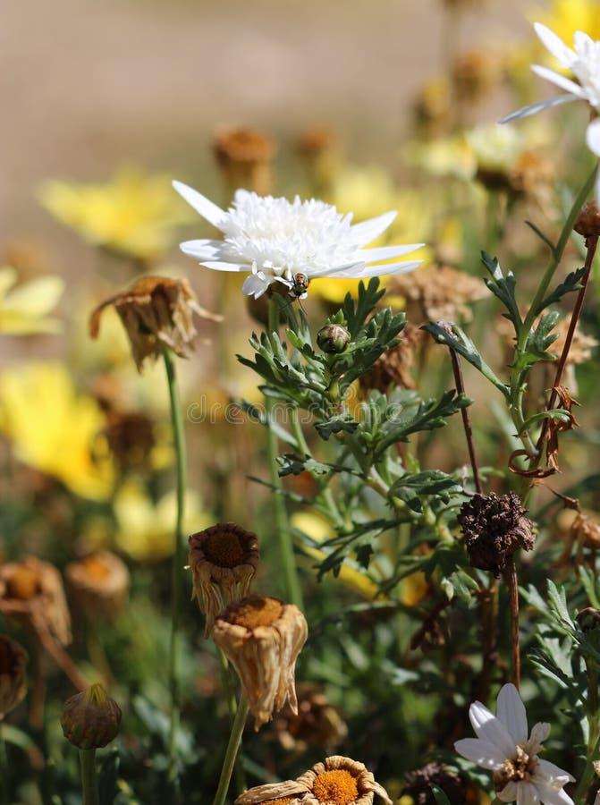 Marienkäferkäfer auf einem Gänseblümchen der weißen Blume stockbilder