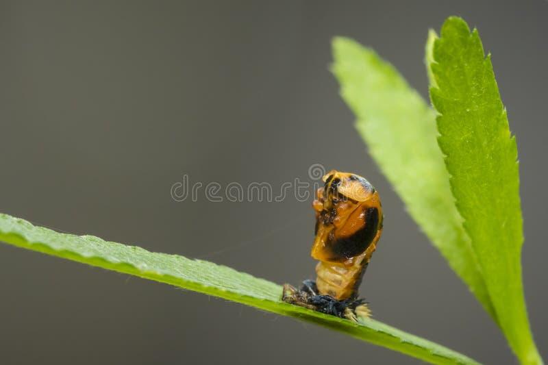 Marienkäferlarven-Insektennahaufnahme stockfoto
