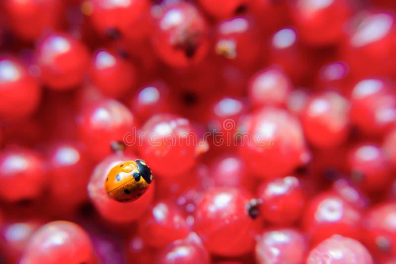 Marienkäfernahaufnahme auf einer roten Johannisbeere stockfotografie