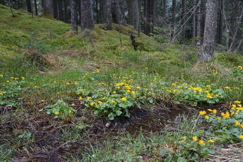 Marigold έλους palustris Caltha στοκ εικόνες με δικαίωμα ελεύθερης χρήσης