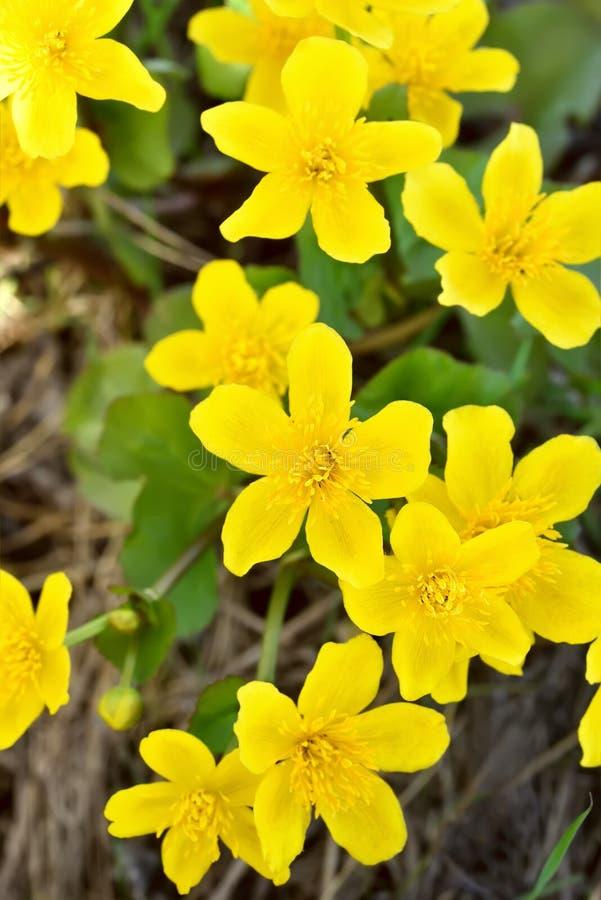 Marigold έλους (palustris Caltha) λουλούδια στοκ εικόνα