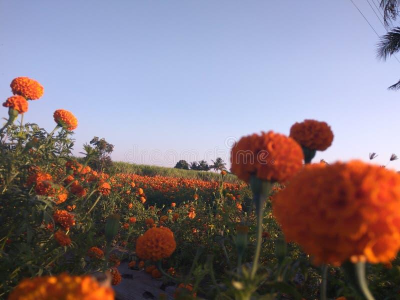Marigold αγρόκτημα στοκ εικόνες