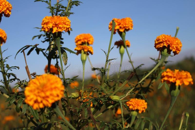 Marigold ανθίζει ή γνωστός τοπικά όπως στοκ εικόνες