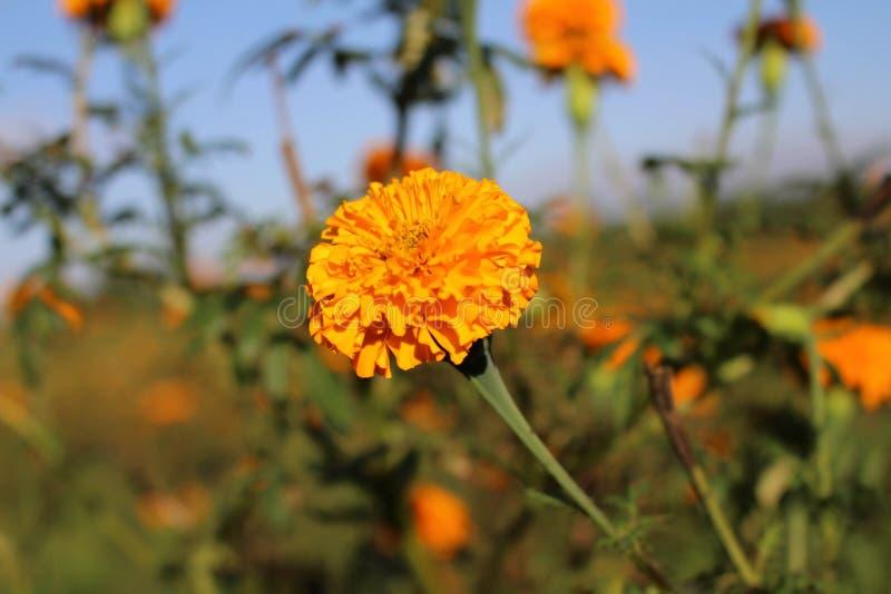 Marigold ανθίζει ή γνωστός τοπικά όπως στοκ εικόνα με δικαίωμα ελεύθερης χρήσης