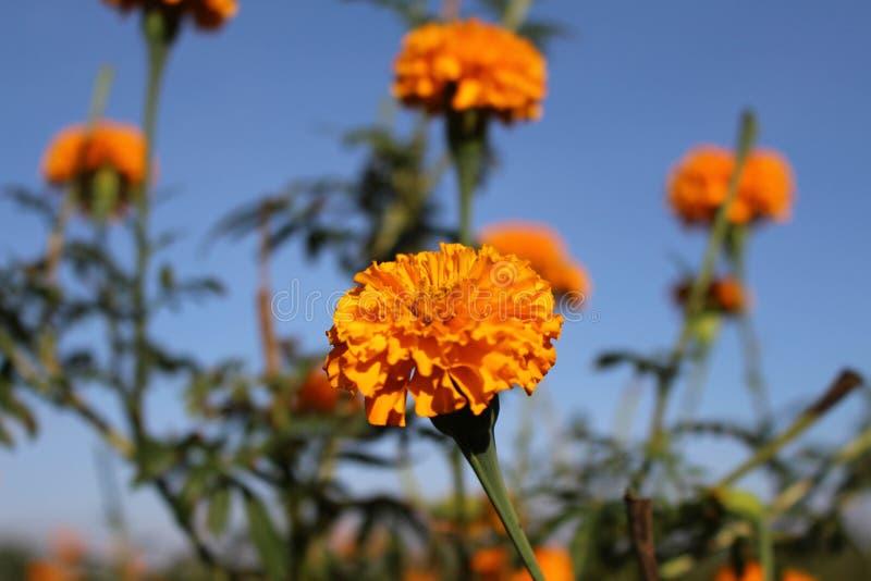 Marigold ανθίζει ή γνωστός τοπικά όπως στοκ φωτογραφία με δικαίωμα ελεύθερης χρήσης
