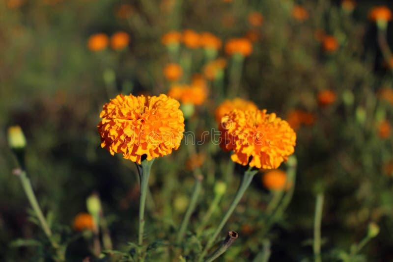 Marigold ανθίζει ή γνωστός τοπικά όπως στοκ εικόνες με δικαίωμα ελεύθερης χρήσης