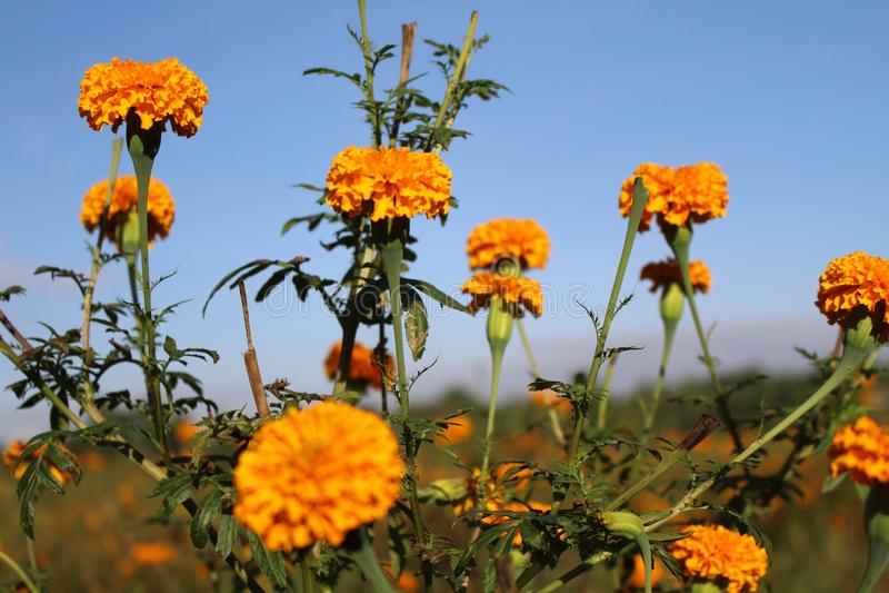 Marigold ανθίζει ή γνωστός τοπικά όπως στοκ εικόνα