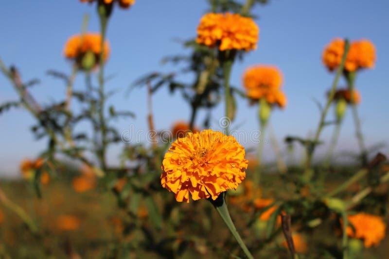 Marigold ανθίζει ή γνωστός τοπικά όπως στοκ φωτογραφίες με δικαίωμα ελεύθερης χρήσης