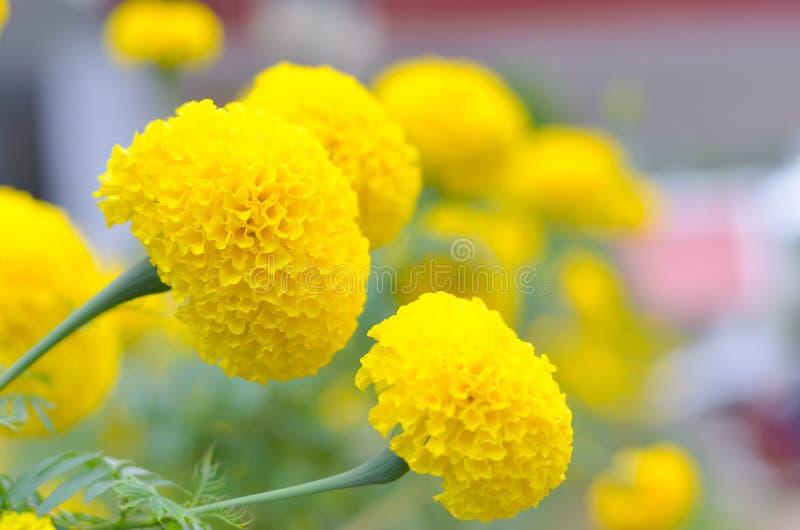 Marigold εγκαταστάσεις στον κήπο στο καλοκαίρι κάτω από το φως του ήλιου, χαρακτηριστικά με το yellowl, υπόβαθρο φύσης, αφηρημένα στοκ εικόνες