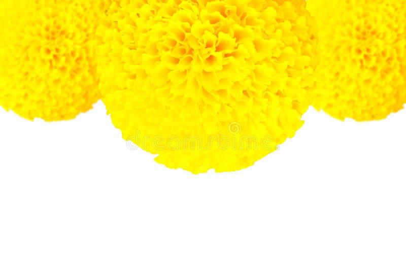Marigold η κίτρινη σύσταση λουλουδιών όμορφη στο άσπρο υπόβαθρο με το διάστημα αντιγράφων προσθέτει το κείμενο στοκ φωτογραφίες