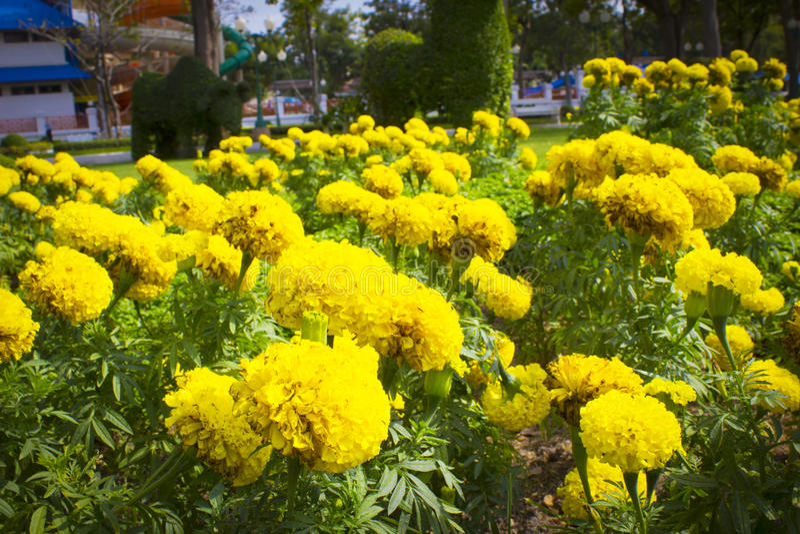 Marigold κήπος στοκ εικόνα με δικαίωμα ελεύθερης χρήσης