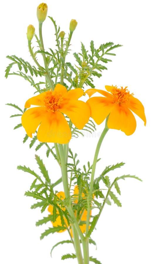 marigold λουλουδιών οφθαλμών π στοκ φωτογραφία