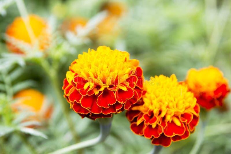 Marigold λουλούδια, κίτρινα marigold λουλούδια στον κήπο, κίτρινο στοκ φωτογραφίες με δικαίωμα ελεύθερης χρήσης