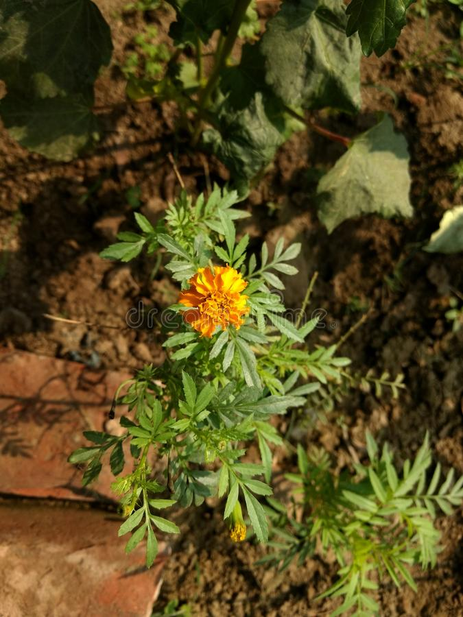 Marigold λουλούδι στο φως της ημέρας στοκ εικόνες