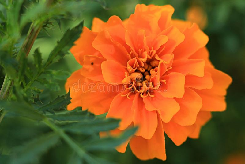 Marigold ο κήπος Makro ανθίζει το πορτοκαλί καλοκαίρι χρώματος χρώματος πράσινο στοκ φωτογραφία με δικαίωμα ελεύθερης χρήσης