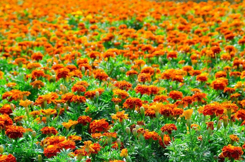 Marigold πεδίο στοκ φωτογραφία
