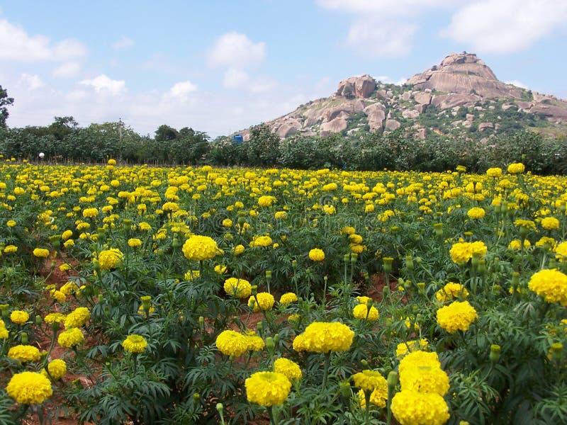 marigold πεδίων στοκ φωτογραφία