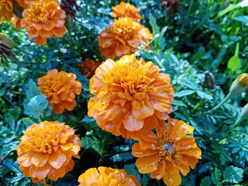 Marigold πορτοκαλιά λουλούδια μετά από την κινηματογράφηση σε πρώτο πλάνο βροχής r Η ημέρα των νεκρών r Διακόσμηση στοκ φωτογραφία