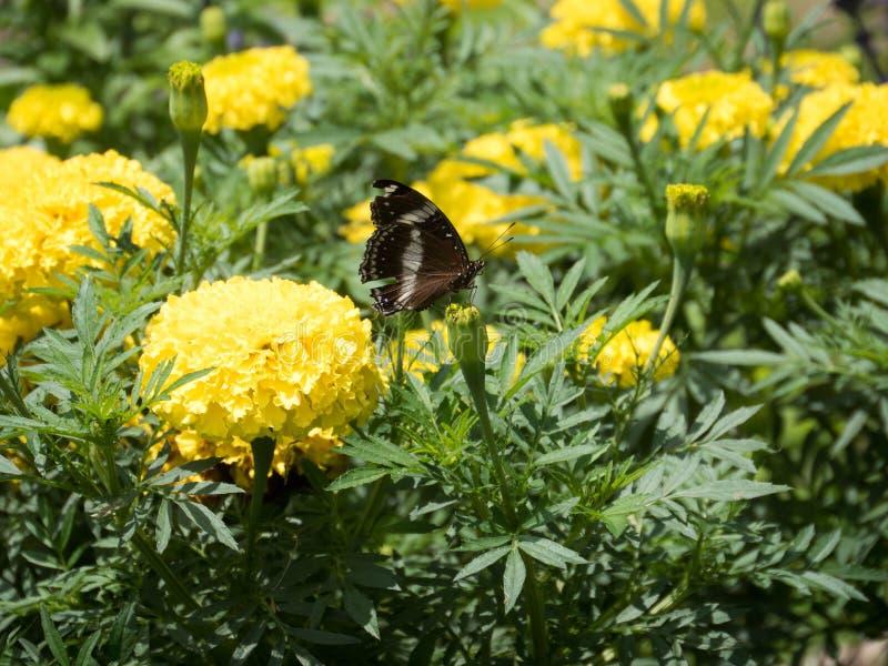 Marigold που ανθίζει στον τροπικό κήπο στοκ εικόνα με δικαίωμα ελεύθερης χρήσης