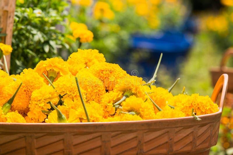 Marigold στο πορτοκαλί καλάθι στοκ εικόνα με δικαίωμα ελεύθερης χρήσης