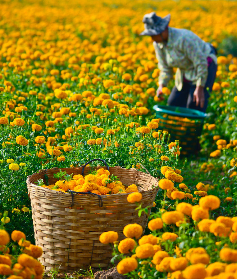 Marigold τομέας στην Ταϊλάνδη στοκ εικόνα με δικαίωμα ελεύθερης χρήσης