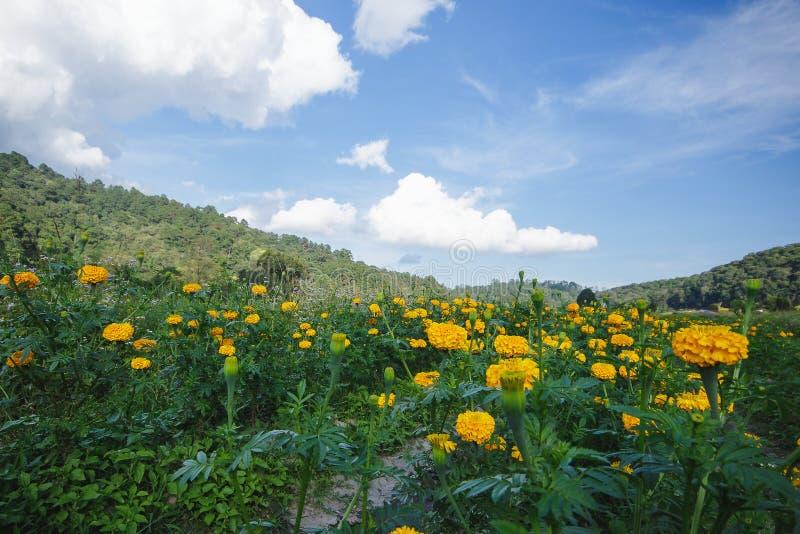 Marigold, φωτεινά χρώματα, δημοφιλή στη φύση στοκ φωτογραφία