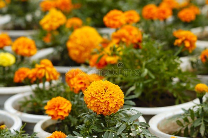 Marigold 08 stock image