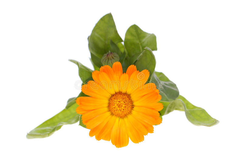 Marigold foto de stock