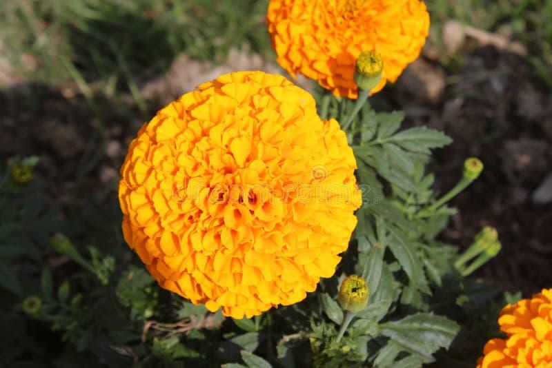 marigold στοκ φωτογραφία με δικαίωμα ελεύθερης χρήσης