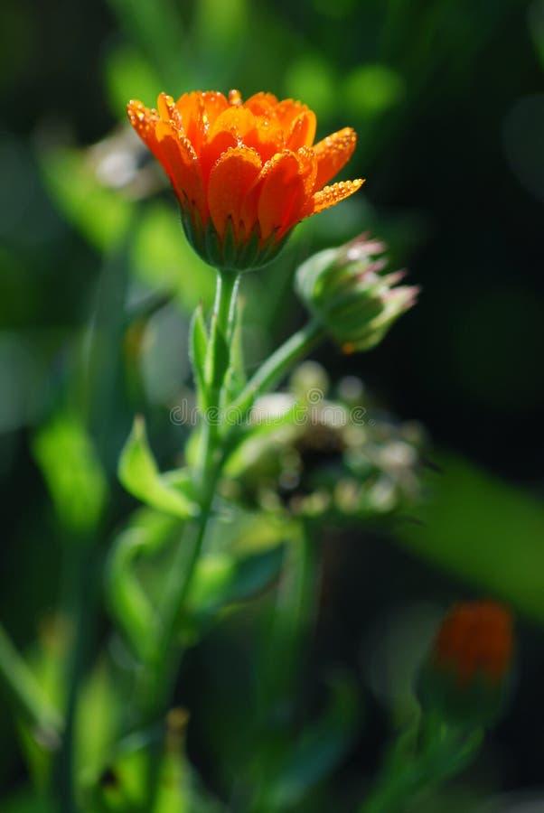 Marigold royalty free stock photo