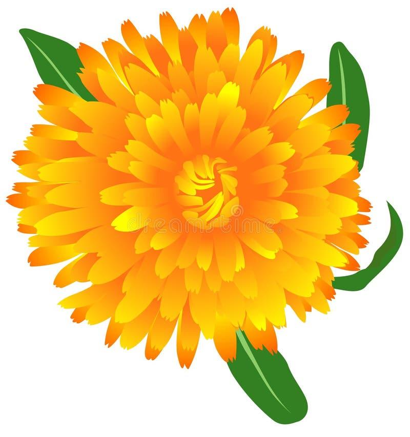 marigold stock vector illustration of herb calendula 1754591 rh dreamstime com  marigold flower clipart black and white