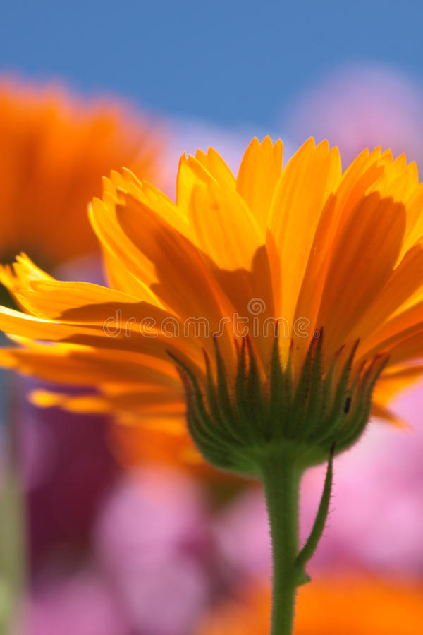Marigold. The underside of an orange Marigold flower head (Calendula officinalis) set against a soft focus background of pink foloiage and blue sky royalty free stock photos