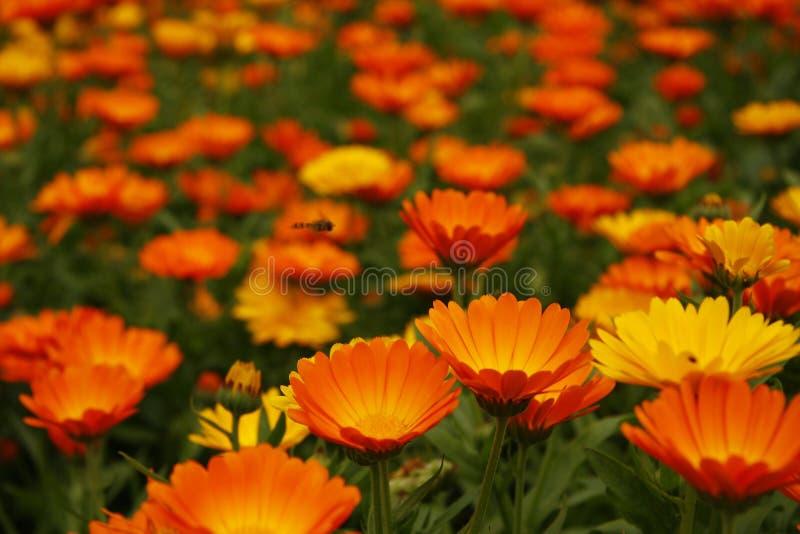 Marigold. A whole field of orange s stock image