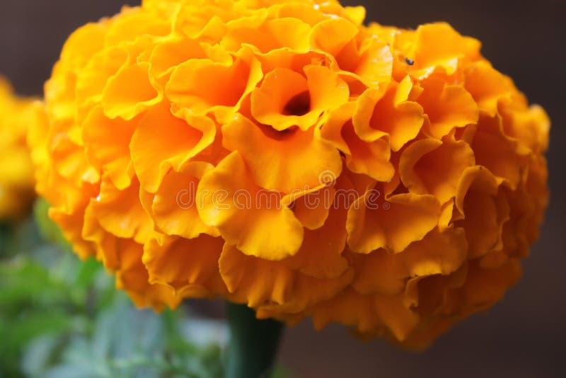marigold στοκ φωτογραφία