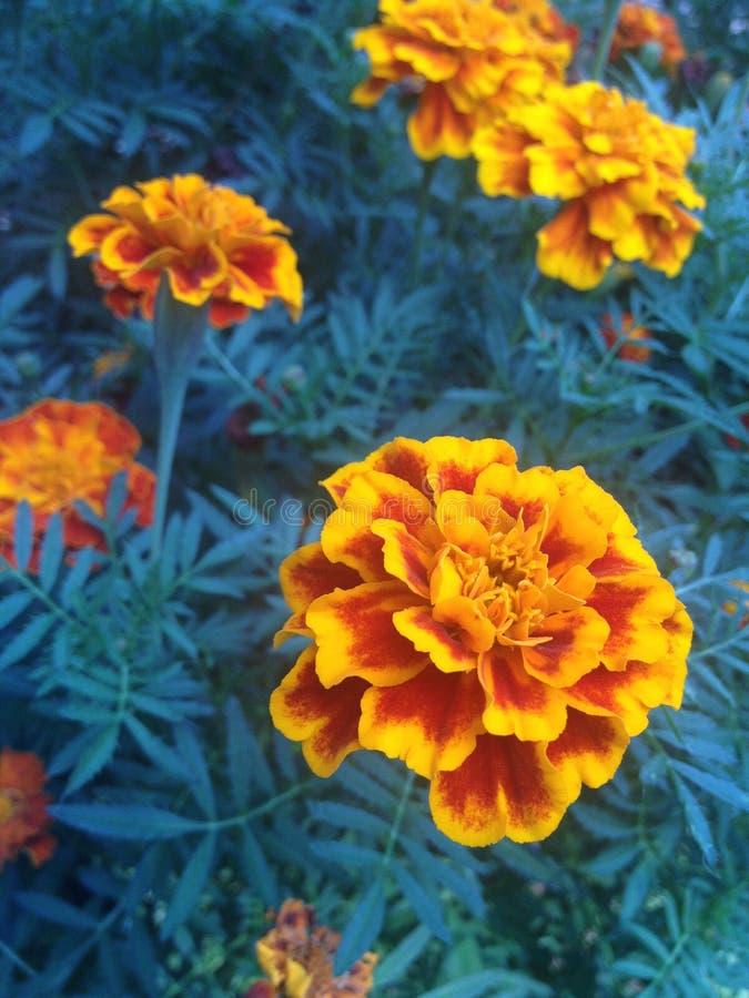 marigold fotografia de stock royalty free