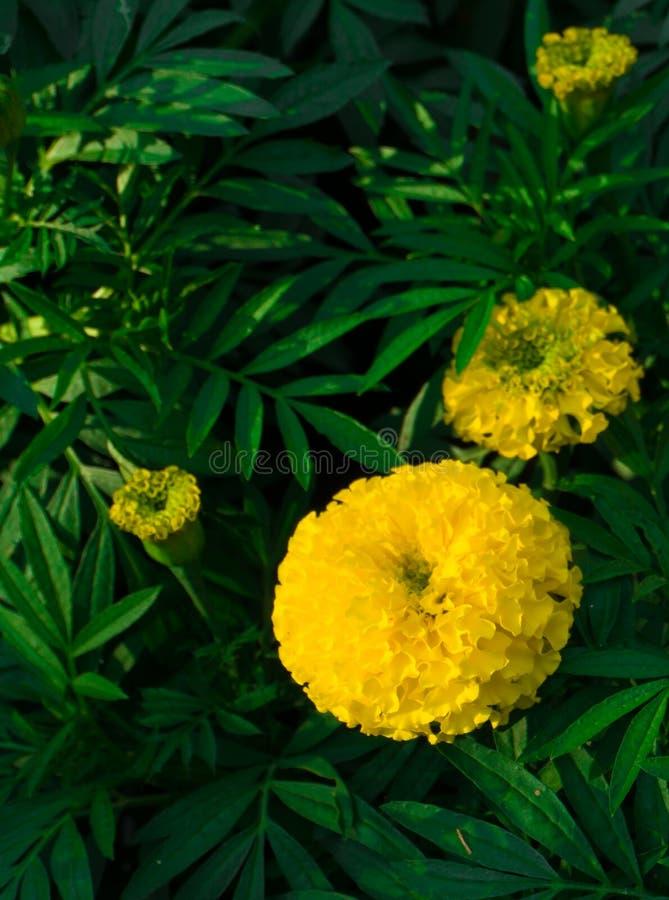marigold στοκ φωτογραφίες