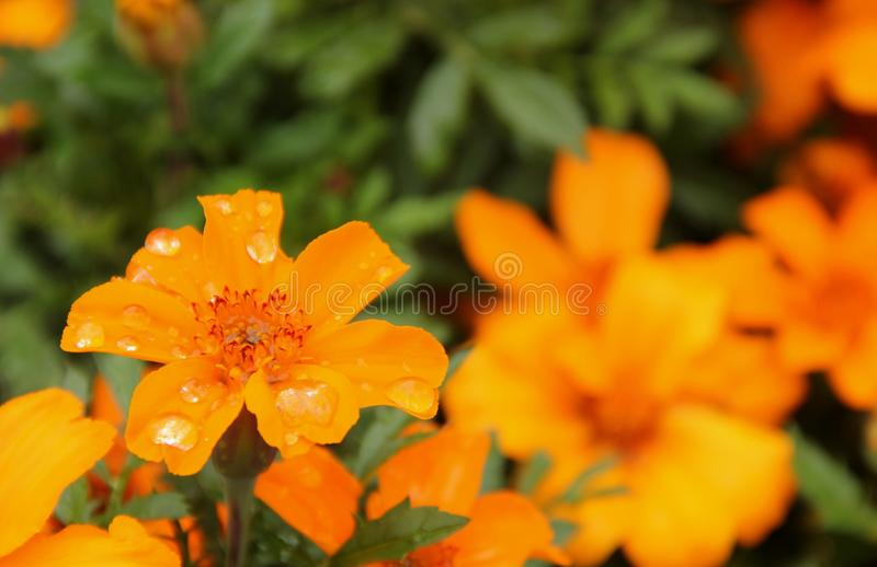 marigold fotos de stock