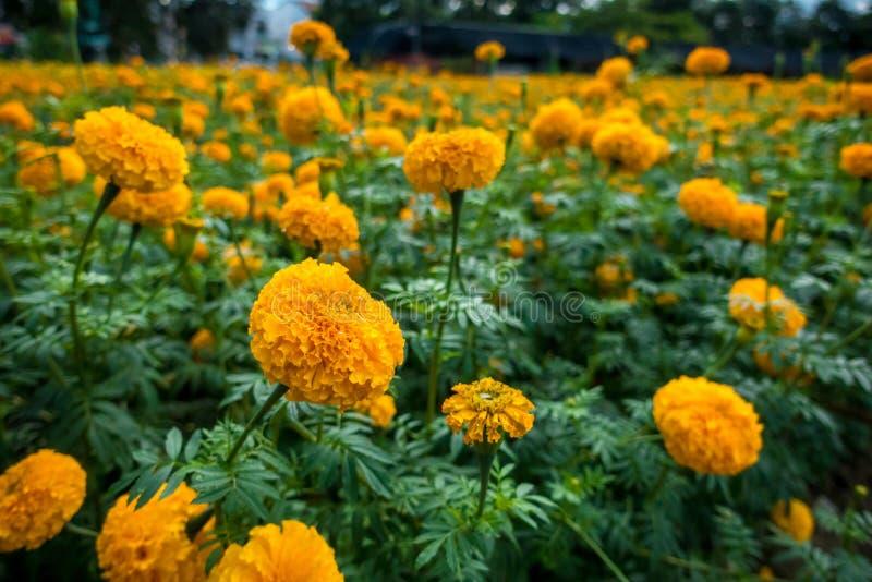 Marigold amarelo fotos de stock royalty free