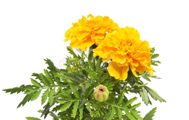 Marigold amarelo fotografia de stock royalty free