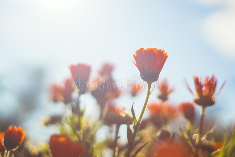 Marigold - beautiful orange flowers in the garden stock photo