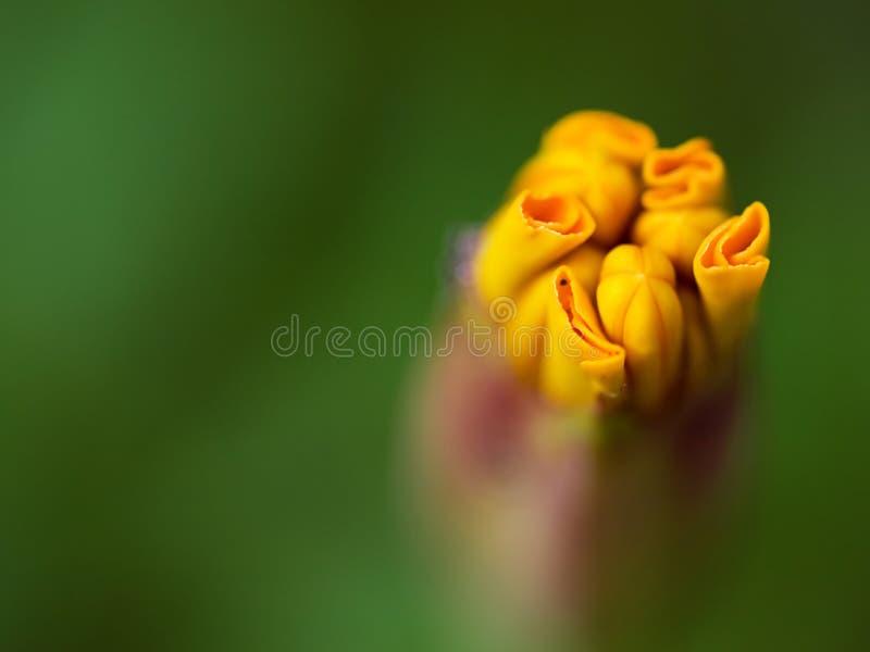 Download Marigold Bud stock photo. Image of green, summer, orange - 7163462