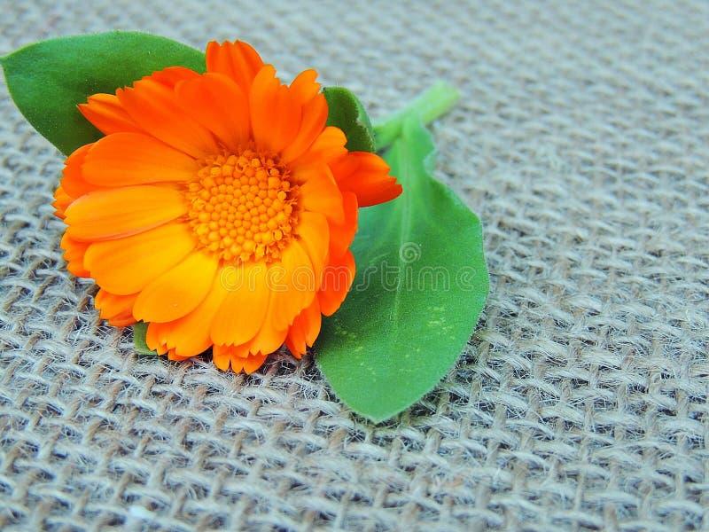 Marigold Calendula λουλούδι burlap στο υπόβαθρο στοκ φωτογραφίες με δικαίωμα ελεύθερης χρήσης