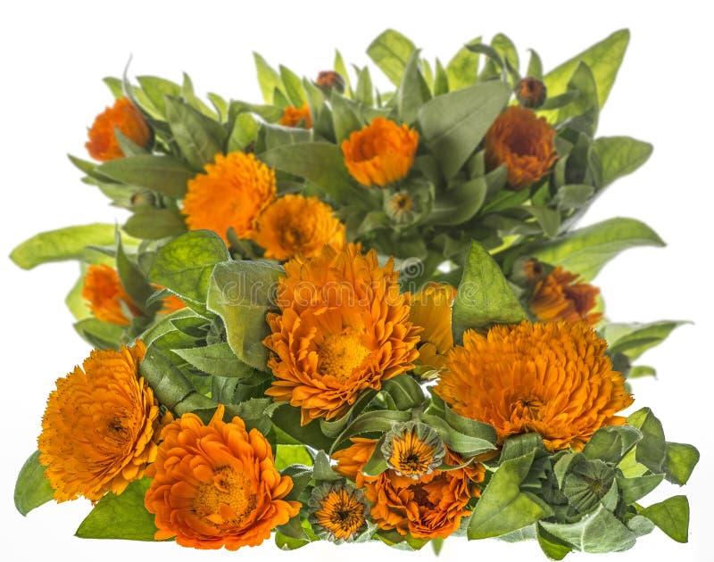 Marigold - Calendula flower isolated on a white. Background royalty free stock photography