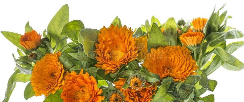 Marigold - Calendula flower isolated on a white. Background stock image