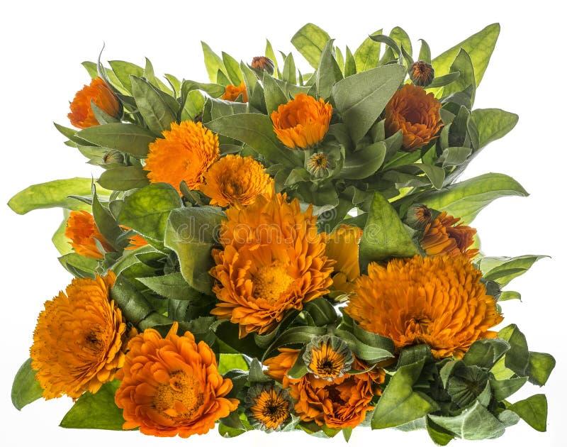 Marigold - Calendula flower isolated on a white. Background royalty free stock photos