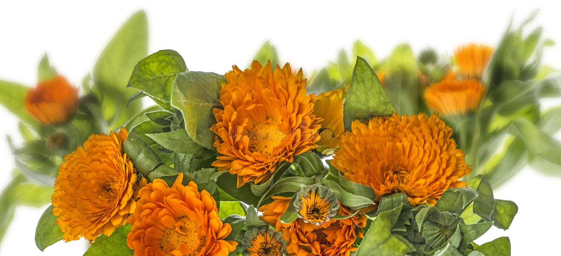 Marigold - Calendula flower isolated on a white. Background stock photography