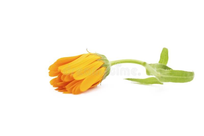 Marigold ,Calendula officinalis. One calendula flower isolated on white background. royalty free stock photography